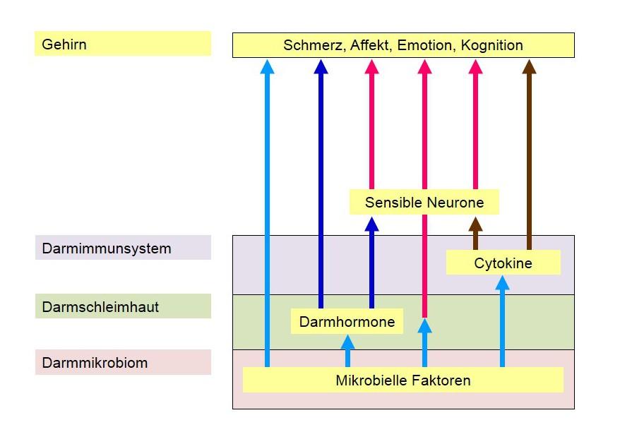 Darm-Gehirn-Achse: Vom Bauch zum Gehirn fließt viel Information. Um chronischen Bauchschmerzen auf die Spur zu kommen, müssen alle Kommunikationswege berücksichtigt werden.