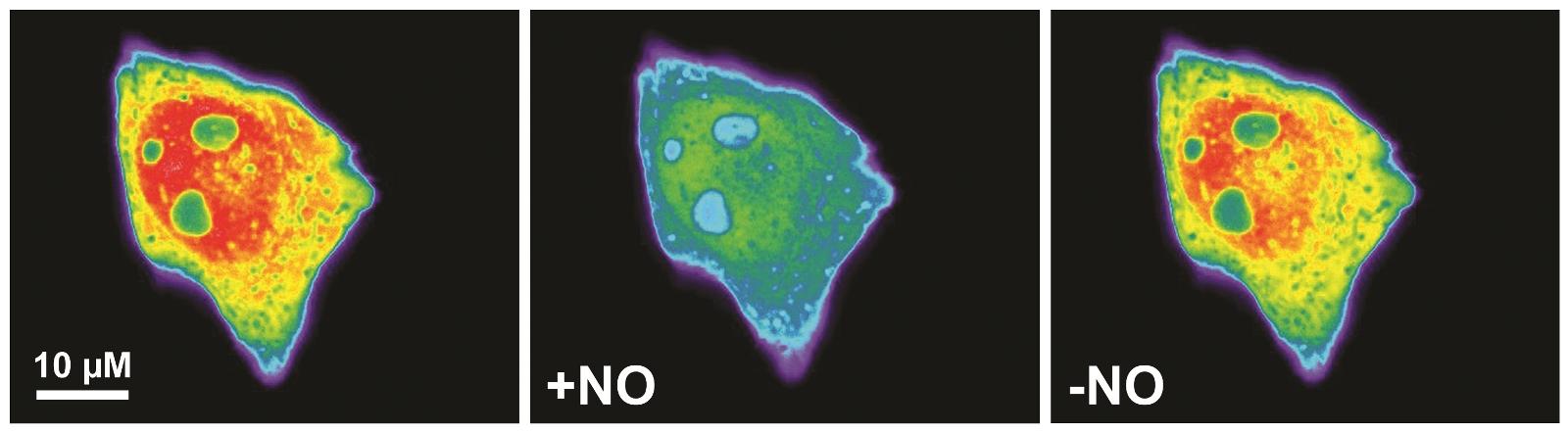 Einleuchtend: Die Verbindung eines NO-Bindungsproteins mit einem natürlich fluoreszierenden Protein ermöglicht es, die Konzentration von Stickstoffmonoxid (NO) in einzelnen menschlichen Zellen zu messen.