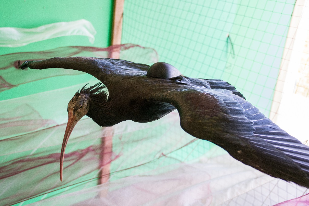 Flying bald ibis in the wind tunnel