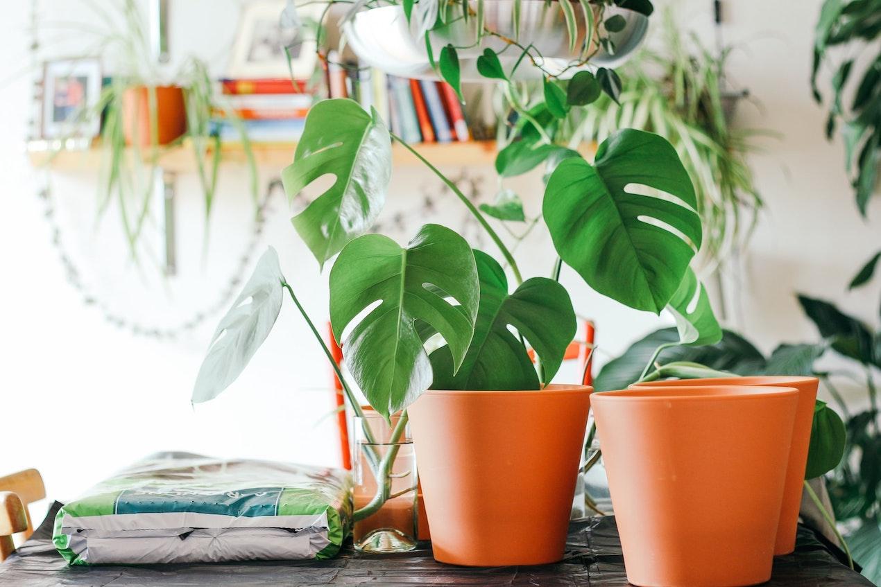 Zimmerpflanzen auf einem Tisch zum Umtopfen