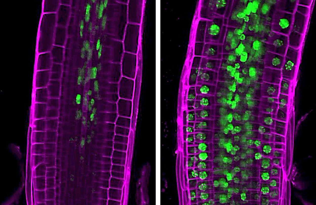 The green markers in the fluorescence microscopy image show that immune defence genes have been activated in various root cells of Arabidopsis thaliana.